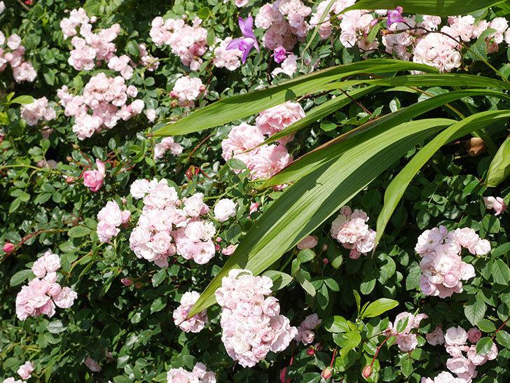 群舞(ツルバラ)の花が満開になった。ツルバラ。2021年-011.jpg