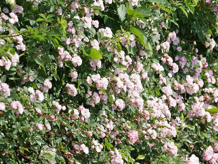 群舞(ツルバラ)の花が満開になった。ツルバラ。2021年-013.jpg