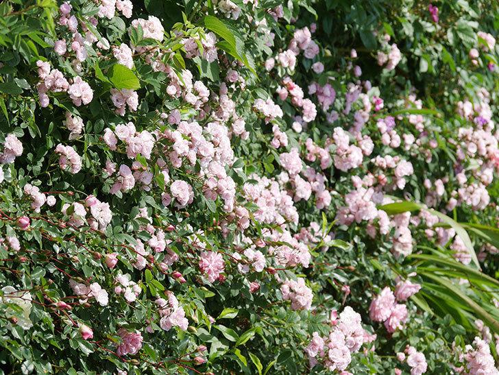 群舞(ツルバラ)の花が満開になった。ツルバラ。2021年-014.jpg