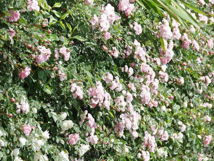 群舞(ツルバラ)の花が満開になった。ツルバラ。2021年-015.jpg