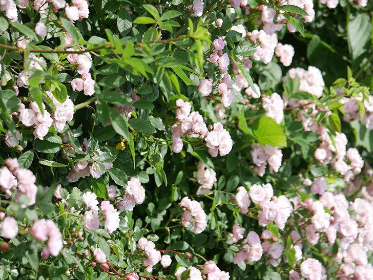 群舞(ツルバラ)の花が満開になった。ツルバラ。2021年-016.jpg