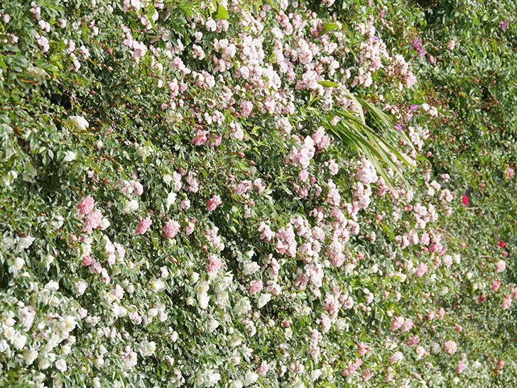 群舞(ツルバラ)の花が満開になった。ツルバラ。2021年-017.jpg