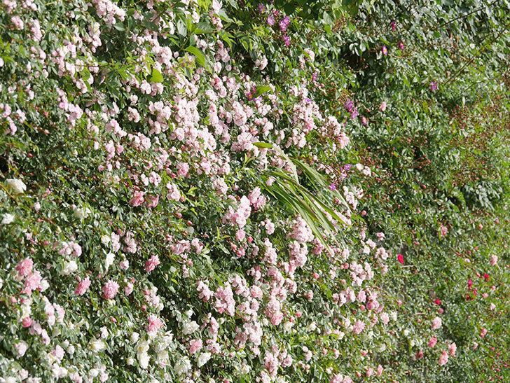 群舞(ツルバラ)の花が満開になった。ツルバラ。2021年-018.jpg