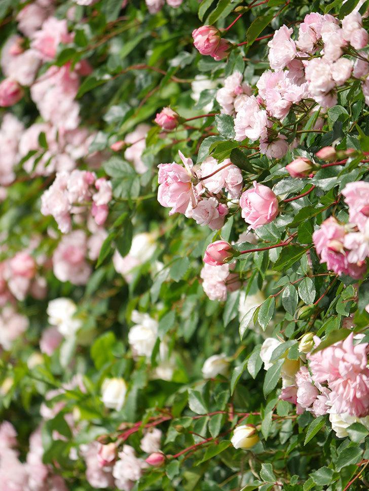群舞(ツルバラ)の花が満開になった。ツルバラ。2021年-019.jpg