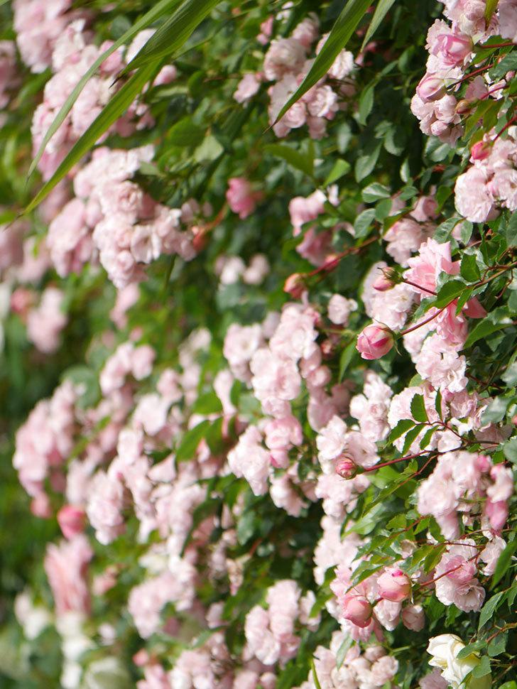 群舞(ツルバラ)の花が満開になった。ツルバラ。2021年-020.jpg
