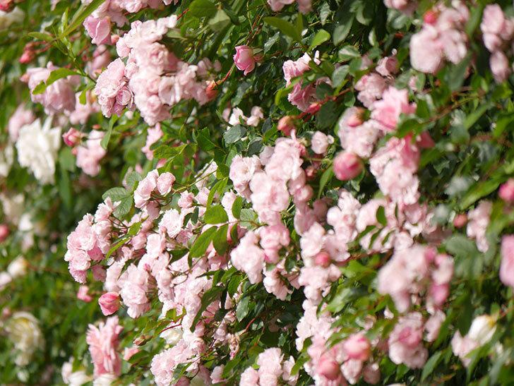 群舞(ツルバラ)の花が満開になった。ツルバラ。2021年-021.jpg