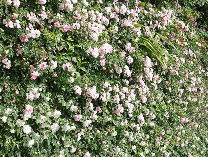 群舞(ツルバラ)の花が満開になった。ツルバラ。2021年-022.jpg
