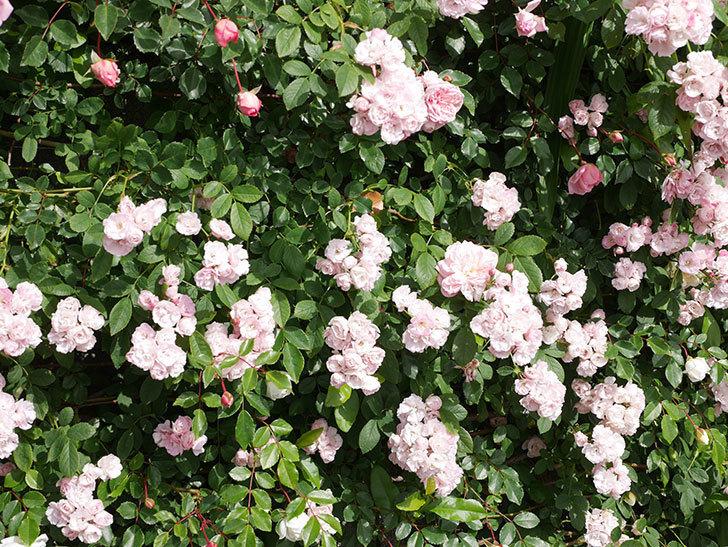 群舞(ツルバラ)の花が満開になった。ツルバラ。2021年-023.jpg