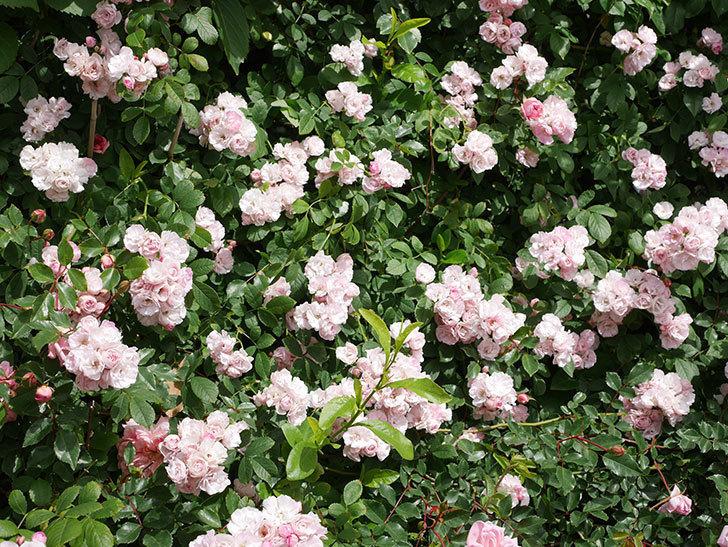 群舞(ツルバラ)の花が満開になった。ツルバラ。2021年-024.jpg