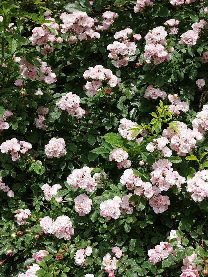 群舞(ツルバラ)の花が満開になった。ツルバラ。2021年-025.jpg