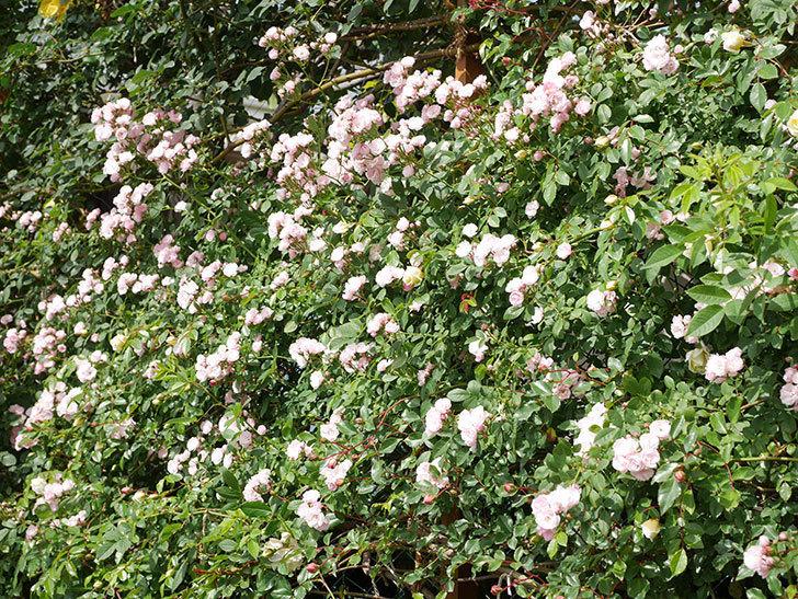 群舞(ツルバラ)の花が満開になった。ツルバラ。2021年-026.jpg