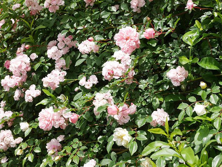 群舞(ツルバラ)の花が満開になった。ツルバラ。2021年-027.jpg