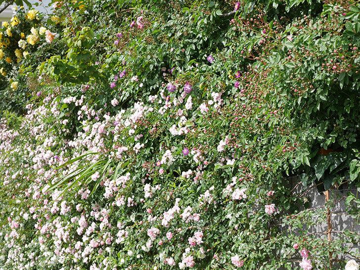 群舞(ツルバラ)の花が満開になった。ツルバラ。2021年-028.jpg
