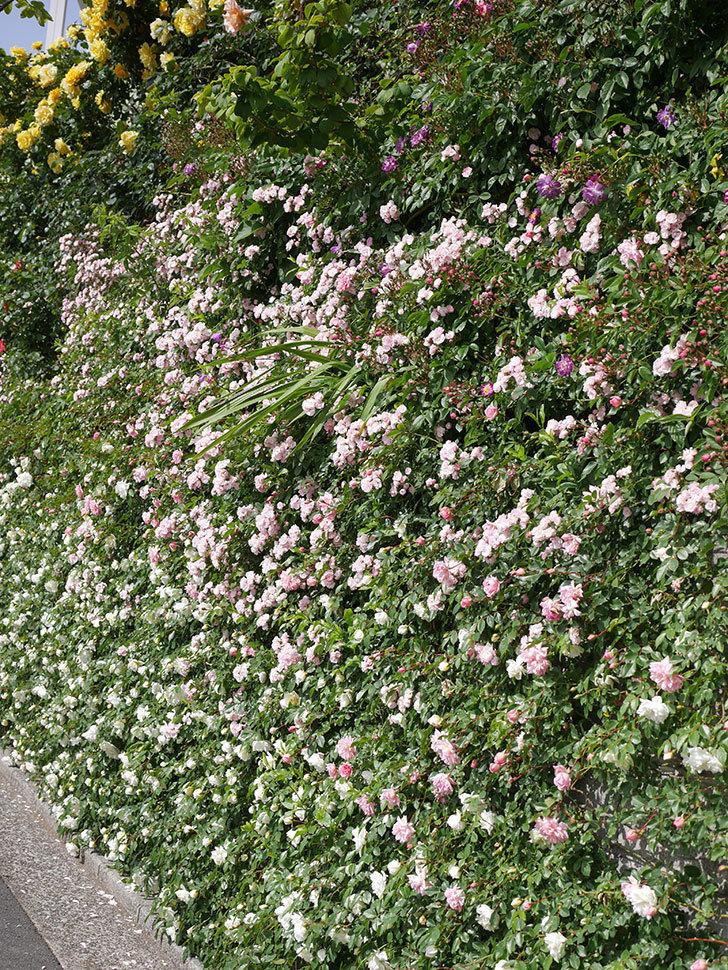 群舞(ツルバラ)の花が満開になった。ツルバラ。2021年-029.jpg