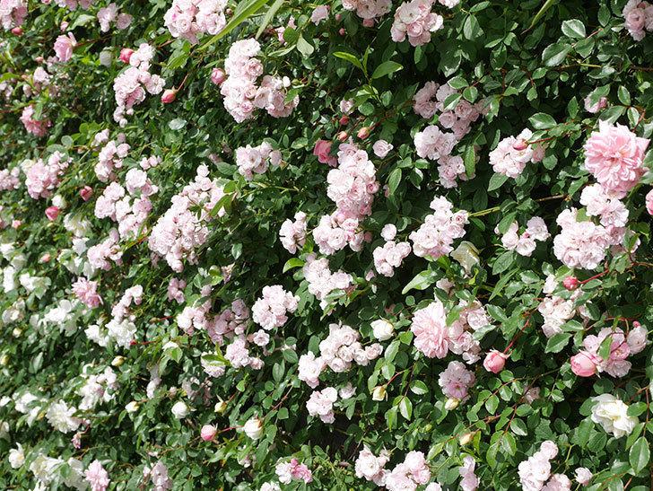 群舞(ツルバラ)の花が満開になった。ツルバラ。2021年-030.jpg