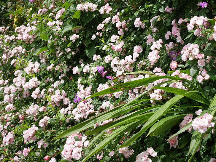 群舞(ツルバラ)の花が満開になった。ツルバラ。2021年-031.jpg