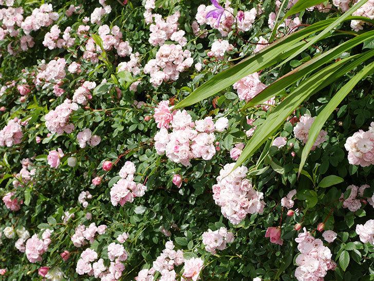群舞(ツルバラ)の花が満開になった。ツルバラ。2021年-033.jpg