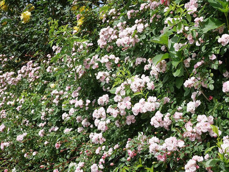 群舞(ツルバラ)の花が満開になった。ツルバラ。2021年-034.jpg