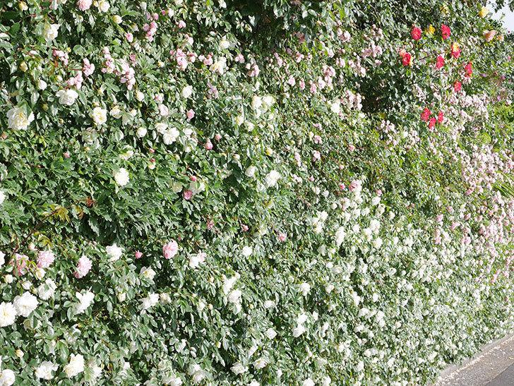 群舞(ツルバラ)の花が満開になった。ツルバラ。2021年-035.jpg
