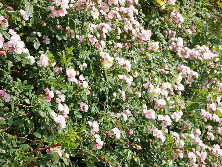 群舞(ツルバラ)の花が満開になった。ツルバラ。2021年-036.jpg