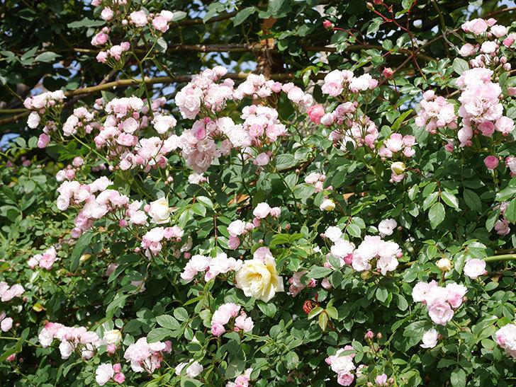 群舞(ツルバラ)の花が満開になった。ツルバラ。2021年-038.jpg