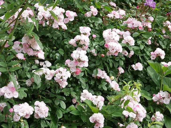 群舞(ツルバラ)の花が満開になった。ツルバラ。2021年-039.jpg