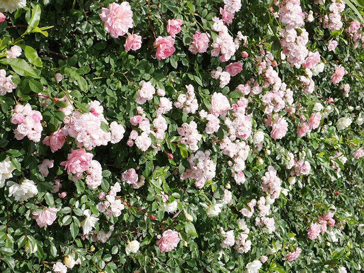 群舞(ツルバラ)の花が満開になった。ツルバラ。2021年-040.jpg