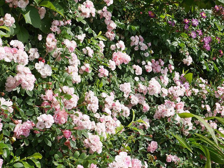 群舞(ツルバラ)の花が満開になった。ツルバラ。2021年-041.jpg