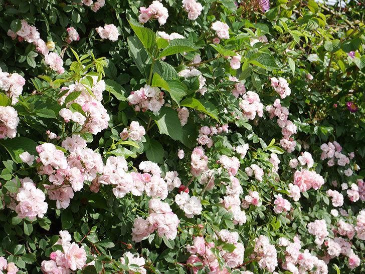 群舞(ツルバラ)の花が満開になった。ツルバラ。2021年-042.jpg