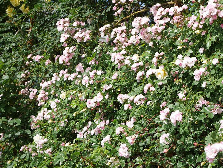 群舞(ツルバラ)の花が満開になった。ツルバラ。2021年-043.jpg
