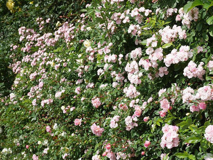 群舞(ツルバラ)の花が満開になった。ツルバラ。2021年-044.jpg
