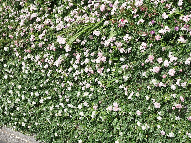 群舞(ツルバラ)の花が満開になった。ツルバラ。2021年-045.jpg