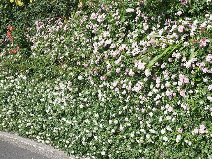 群舞(ツルバラ)の花が満開になった。ツルバラ。2021年-046.jpg