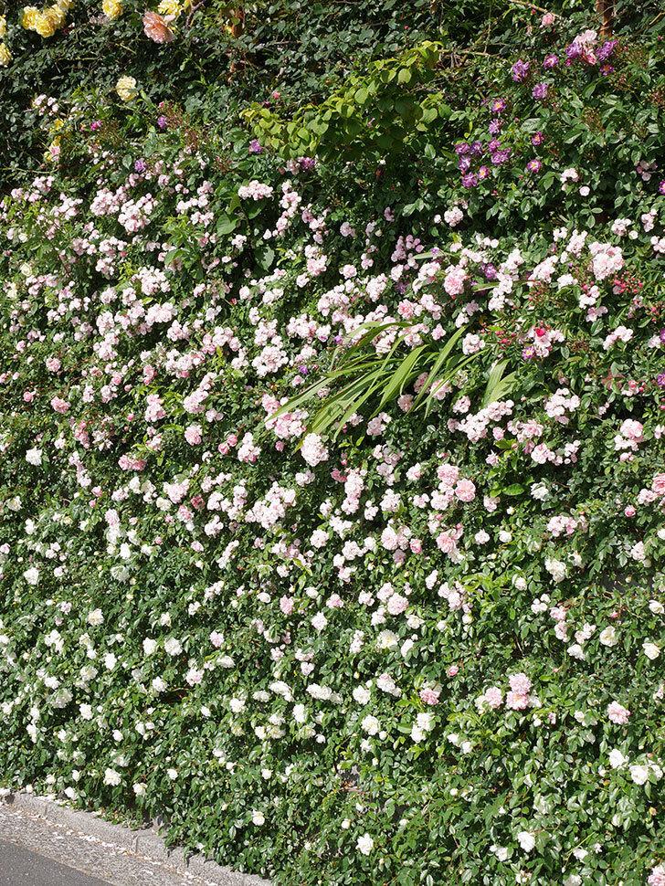 群舞(ツルバラ)の花が満開になった。ツルバラ。2021年-047.jpg