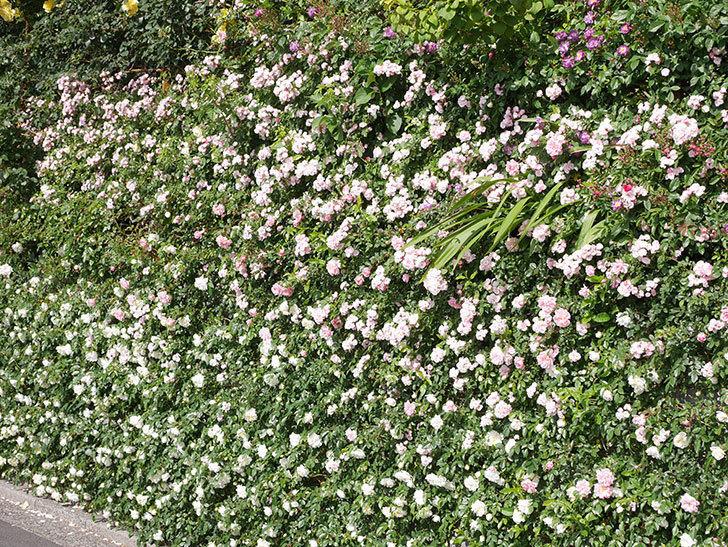 群舞(ツルバラ)の花が満開になった。ツルバラ。2021年-048.jpg