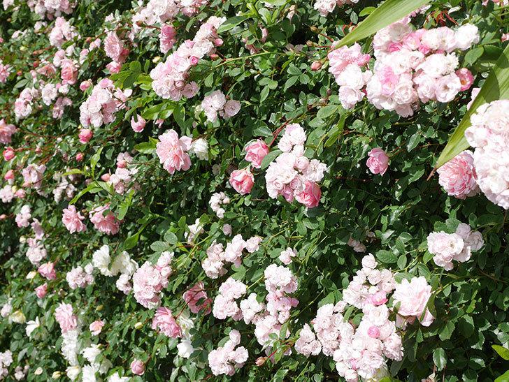 群舞(ツルバラ)の花が満開になった。ツルバラ。2021年-049.jpg