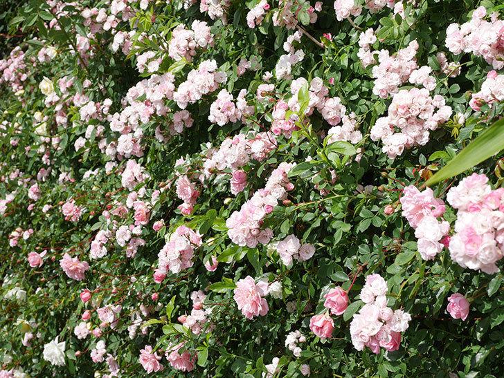 群舞(ツルバラ)の花が満開になった。ツルバラ。2021年-050.jpg