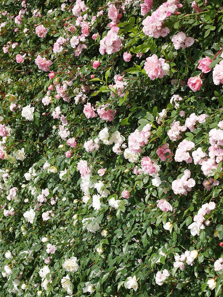 群舞(ツルバラ)の花が満開になった。ツルバラ。2021年-051.jpg