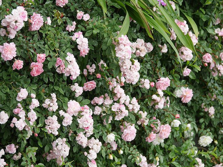 群舞(ツルバラ)の花が満開になった。ツルバラ。2021年-052.jpg