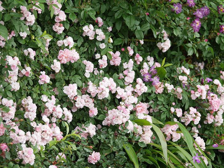 群舞(ツルバラ)の花が満開になった。ツルバラ。2021年-053.jpg