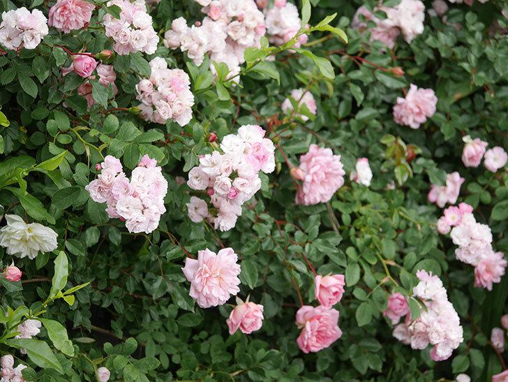 群舞(ツルバラ)の花が満開になった。ツルバラ。2021年-054.jpg