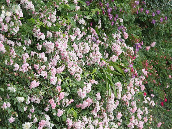 群舞(ツルバラ)の花が満開になった。ツルバラ。2021年-055.jpg