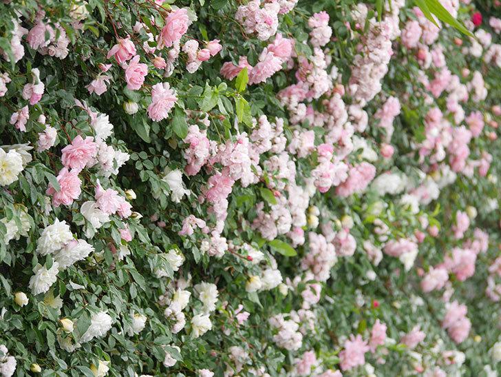 群舞(ツルバラ)の花が満開になった。ツルバラ。2021年-056.jpg