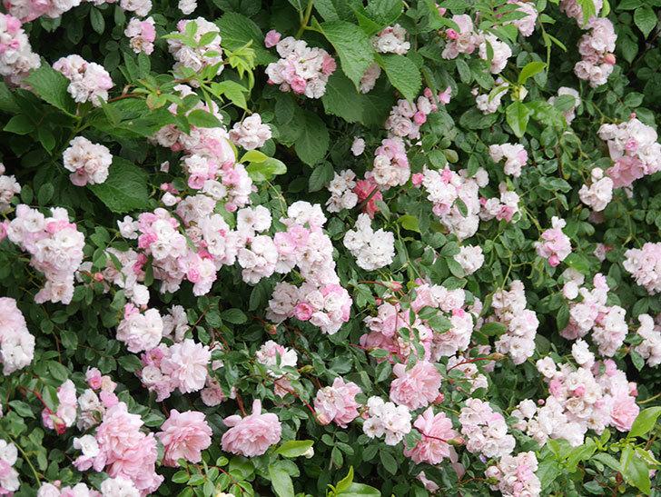 群舞(ツルバラ)の花が満開になった。ツルバラ。2021年-057.jpg
