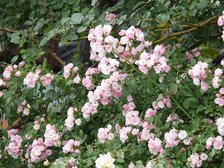 群舞(ツルバラ)の花が満開になった。ツルバラ。2021年-060.jpg