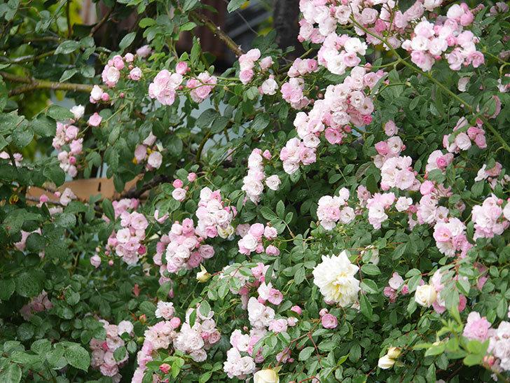 群舞(ツルバラ)の花が満開になった。ツルバラ。2021年-061.jpg