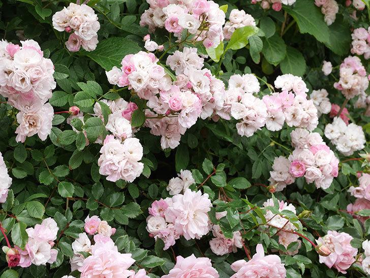 群舞(ツルバラ)の花が満開になった。ツルバラ。2021年-062.jpg