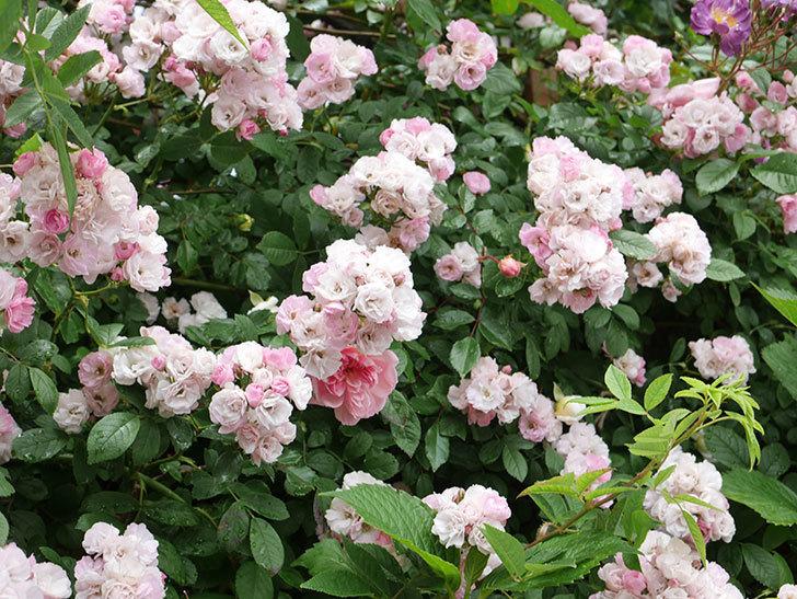 群舞(ツルバラ)の花が満開になった。ツルバラ。2021年-063.jpg