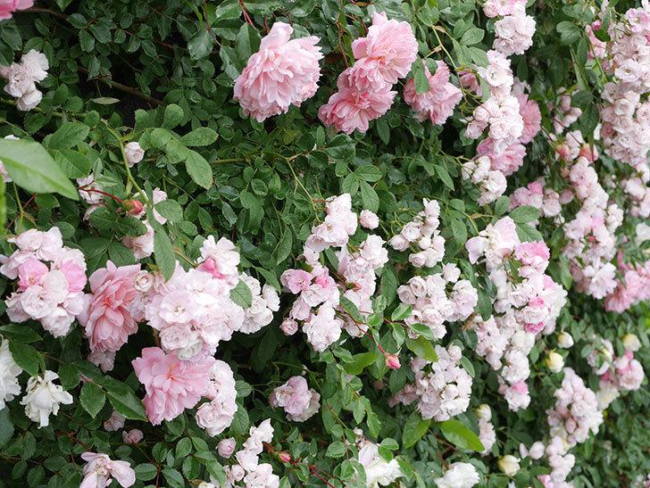 群舞(ツルバラ)の花が満開になった。ツルバラ。2021年-064.jpg