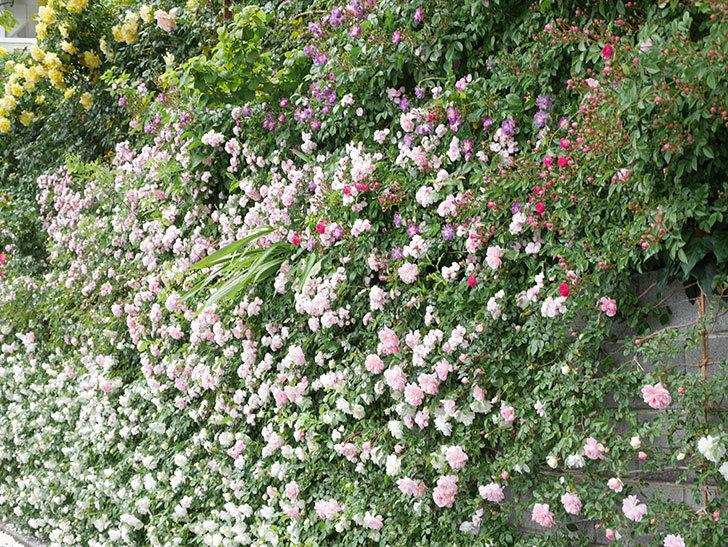 群舞(ツルバラ)の花が満開になった。ツルバラ。2021年-065.jpg
